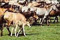 Dülmen, Wildpferdefang 1982 -- 2010 -- 2.jpg