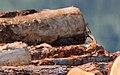 DSC 8462 Monticole de roche Monticola saxatilis (50181373326).jpg