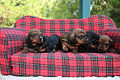 Dachshund puppies image.jpg