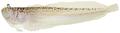 Dactyloscopus tridigitatus - pone.0010676.g139.png