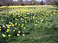 Daffodils in Trent Park, London N14 - geograph.org.uk - 1805601.jpg