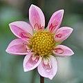 Dahlia - Flickr - Dawn Huczek.jpg