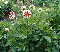 Dahlia Cultivar FireAndIce BotGardBln07122011A.jpg