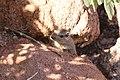 Dassie rat, (Petromus typicus)-5186 - Flickr - Ragnhild & Neil Crawford.jpg