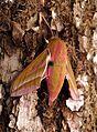 Deilephila elpenor Weibchen Saarland 003.jpg