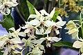 Dendrobium Bill Takamatsu 0zz.jpg