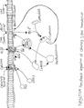 Desensitization of the olfactory sensory neuron.pdf