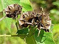 Devil's cotton (Abroma augusta) fruit mature.jpg