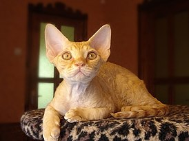 Devon Rex male.jpg