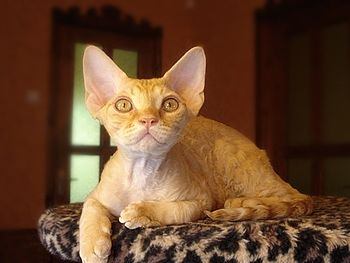 English: Male cat of Devon Rex breed.