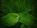 Dew on a leaf 1.JPG