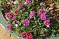 Dianthus chinensis 2729.jpg