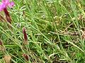 Dianthus deltoides Orikrin 003.jpg