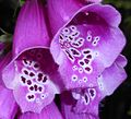 Digitalis purpurea 2015-06-20 3380.jpg