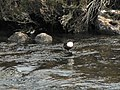 Dipper in Callater Burn - geograph.org.uk - 605715.jpg