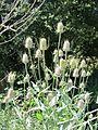 Dipsacus fullonum 20110625 105347 Berango 43p345889N 2p981917W r.jpg