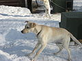 Dog @ Plettner Kennel (2311471239).jpg
