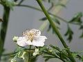 Dog rose (14376121472).jpg