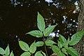 Dolichandrone spathacea 9376.jpg
