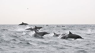 Dolphins Oman
