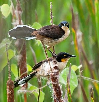 Black-capped donacobius - In Piraju, São Paulo, Brazil Note lower bird displaying yellow neck patch