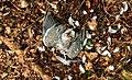 Door sperwer (Accipiter nisus) gedode houtduif (Columba palumbus). Locatie, Natuurterrein De Famberhorst 03.jpg