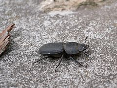 Dorcus parallelipipedus 20050704 513 part.jpg