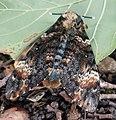 Dornbirn-Matengaweg-Acherontia atropos-08ASD.jpg