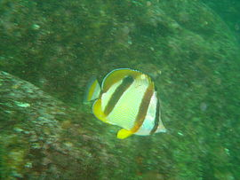 Doublesash butterfly fish at Percy's Hole DSC08545.JPG