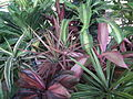 Dracaena broad leaved from lalbagh 2208.JPG