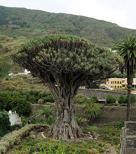 Деревьев в икод де лос винос тенерифе