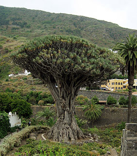 <i>Dracaena</i> (plant) genus of plants
