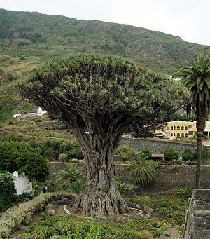 Dracaena draco - The ancient specimen at Icod de los Vinos, Tenerife