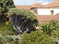 Drago del Seminario de La Laguna, o de Santo Domingo, isla de Tenerife, Canarias, España.jpg