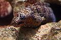 Dragon moray (Enchelycore pardalis) (16063248455).jpg
