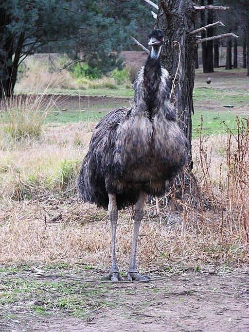 Dromaius novaehollandiae -Taronga Western Plains Zoo, near Dubbo, New South Wales, Australia-8a