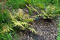 Dryopteris erythrosora - RHS Garden Harlow Carr - North Yorkshire, England - DSC01175.jpg