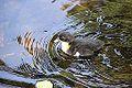 Duckling (9458970750).jpg