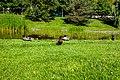 Ducks (40137236041).jpg