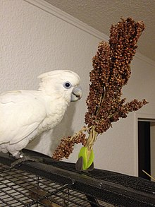Ducorps cockatoo.JPG