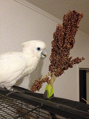 Solomons cockatoo - Solomons cockatoo on a Dari millet
