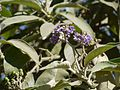 Ear-leaved Nightshade (6365001503).jpg