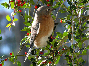 Ilex vomitoria - An eastern bluebird eating the bright red berries from an Ilex vomitoria.
