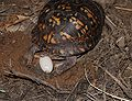 Eastern Box Turtle 8672.jpg