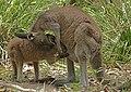 Eastern Grey Kangaroo Feeding edited.jpg