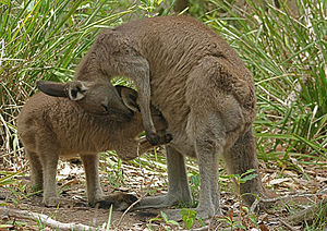 Eastern grey kangaroo - A mother feeds her joey.