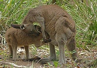 Eastern grey kangaroo - A mother feeds her joey.