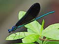 Ebony Jewelwing - Calopteryx maculata, Lake June-in-Winter Scrub State Park, Lake Placid, Florida (39757100344).jpg