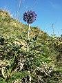 Echinops ritro (subsp. ruthenicus) sl34.jpg