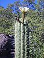Echinopsis Chiloensis.jpg